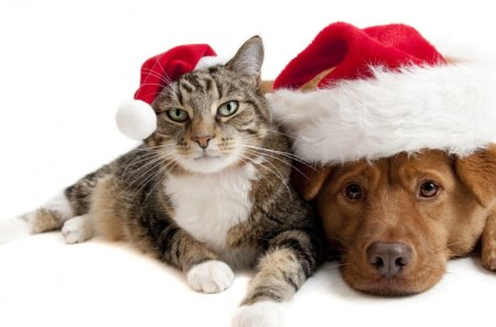 Cat and dog in Santa hats - dog, feline, cat, hats, christmas