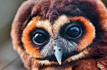 owl - owl, eyes, wing, birds