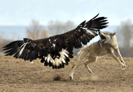 wolf vs eagle - Dogs & Animals Background Wallpapers on Desktop ...