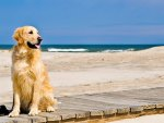 Dog Waiting on Beach