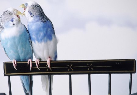 Love Birds - love, bird, parrot, birds