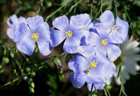 Beautiful Flax Flowers - flowers, colorful, nature, pretty, flax