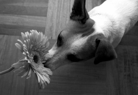 ~ Romantic Girl♥ ~ - romantic girl, animals, sweet scent, black, gerbera, forever, dogs, flower, lover, white, love, smelling the flower