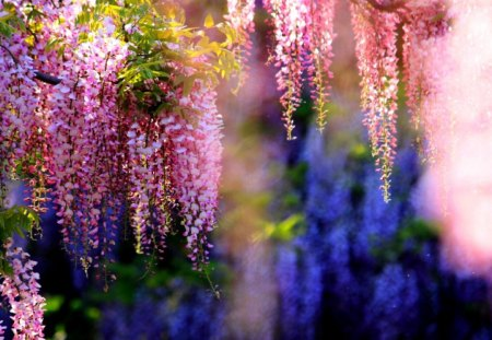 PINK WISTERIA - garden, blossoms, wisteria, pink