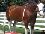 Clydesdale horse.