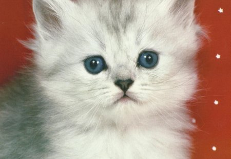 Fluffy white kitten - Cats & Animals Background Wallpapers ...