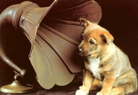 Dog listening music - dog, phonograph, music, sweet, puppy, animal