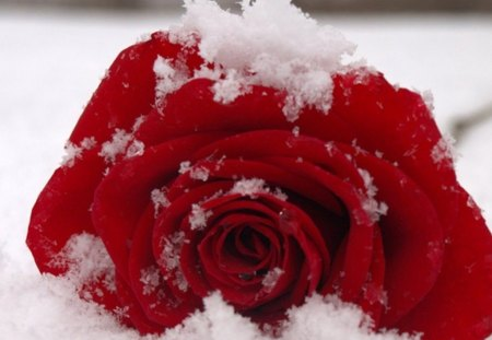 Hot and cold photography abstract background - Rose in snow wallpaper ...