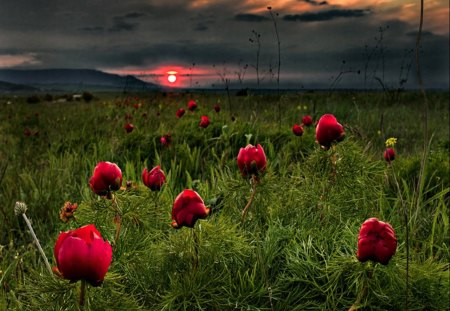 Flowers Field - splendor, flowers, beautiful, red flowers, view, beauty, sunset, poppy, grass, red, field of flowers, poppies, green, sky, lovely, clouds, flowers field, nature, sun, peaceful