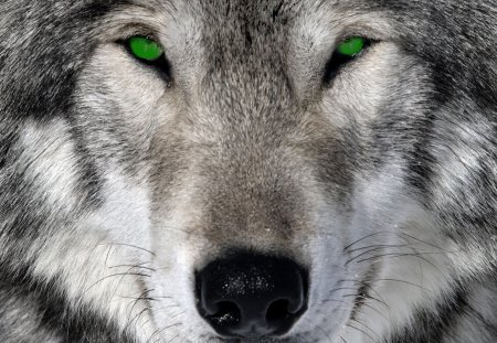 Wolf Green Eyes - Dogs & Animals Background Wallpapers on ...