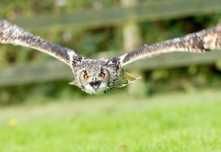 owl - owl, grass, fly, birds