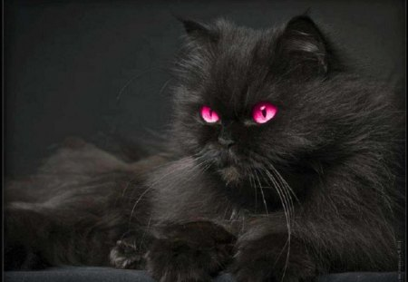 Pink Eye Beauty - Cats & Animals Background Wallpapers on ...