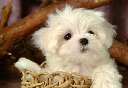 Cute white puppy - fluffy, beautiful, paws, basket, look, cute, adorable, pretty, lovely, puppy, animal, dog, nice, white, photo, sweet