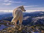 the great white wolf.
