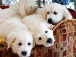 ♥♥♥♥ Pups in armchair ♥♥♥♥