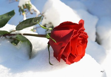 Red rose flowers nature background wallpapers on - Rose in snow wallpaper ...