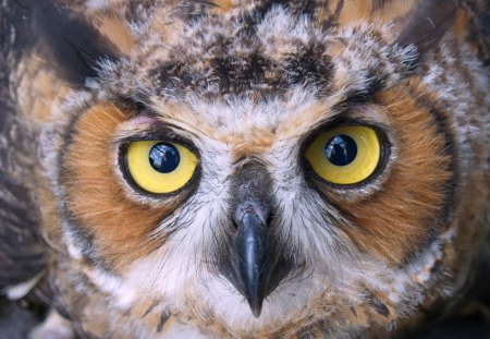 Great Horned Owl - owl, hoot, up close, bird, fly, animal, great horned owl