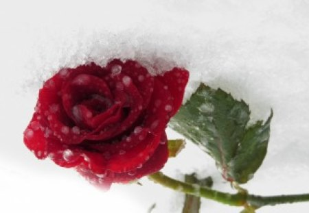 Rose in snow flowers nature background wallpapers on - Rose in snow wallpaper ...