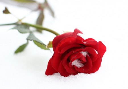 Single rose flowers nature background wallpapers on for Individual rose petals