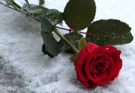 Snow rose flowers nature background wallpapers on - Rose in snow wallpaper ...