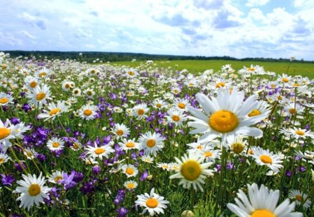 Field of daisies - Fields & Nature Background Wallpapers ... Field Of Daisies