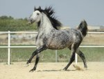 Dappled Grey Prancer