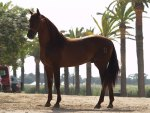 Chestnut Andalusian
