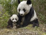 Panda mother and her cub
