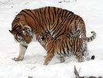 The Amur Tiger & Her Cub