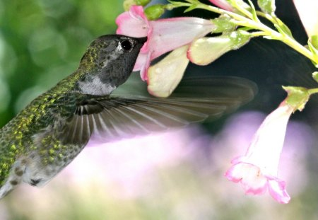 Pretty Hummingbird - little, quick, fast, beautiful, flowers, animal, bird, hummingbird