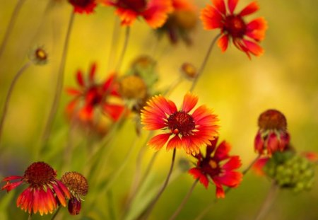 Orange daisies - garden, summer, orange, grass, yellow, daisy, greenery