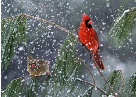 Snow Birds - falling snow, cardinals, tree branches, winter, birds