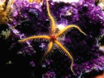 Golden Starfish and Purple Corals