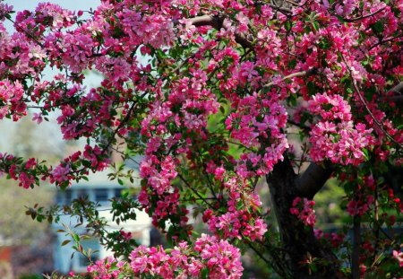 Apple tree blossom - spring, blossom, pink, beutiful, nature, tree, flowery, apple