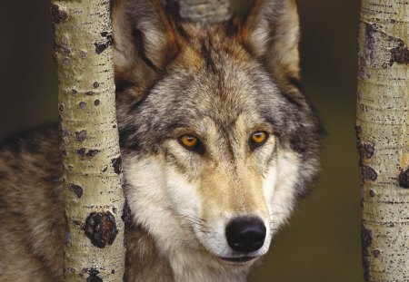 Iberian Wolf - wolves, animals, iberian, grey wolf, spain, wolf