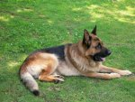 Big german shepherd