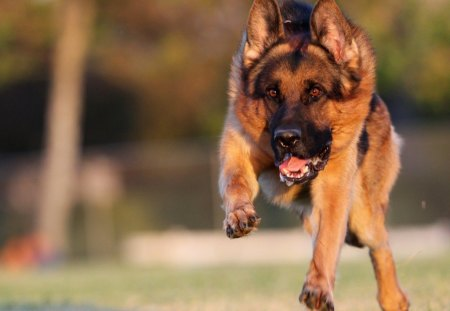 german shepherd - Dogs & Animals Background Wallpapers on ...