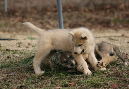 wolf puppies playing - canis lupus, wolfdogs, canidae, carnivora