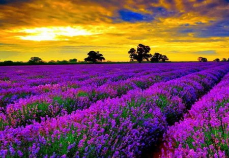 Fragrant Rows Flowers Lavender Purple Sunset Field Fragrance