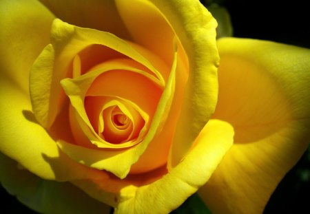 Yellow Rose for you my friends. - love, yellow, black, Rose