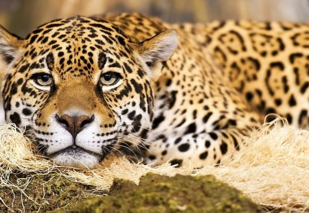 Jaguar Big Cat - big cat, beautiful, wild, cat, nature, jaguar, endangered