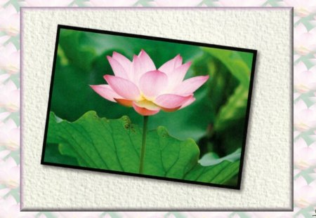 Lotus Blossom - photography, flower, beauty, lotus, floral, romance, photo, wide screen, love