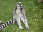 Ring-tailed Lemur Stretching