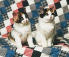 Twin calico cats sitting on a quilt