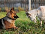 German shepherd and goat