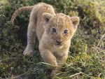 Beautiful Cub