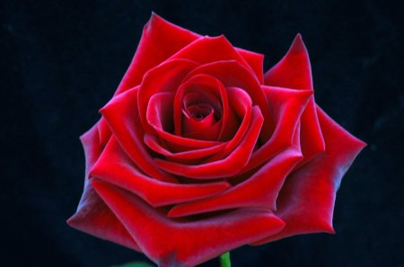 a really pretty red rose.  flowers  nature background wallpapers, Beautiful flower
