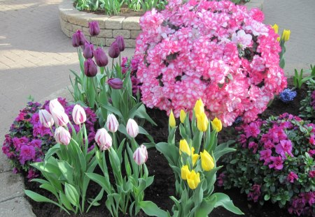 Tulips are spring-blooming 37 - green, garden, photography, purple, pink, Tulips, Flowers, yellow