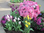 Tulips are spring-blooming 37
