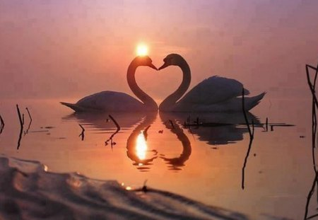 Sweetheart Swans at Sunset - Birds & Animals Background ...